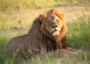 Cecil_the_lion_at_Hwange_National_Park.jpg