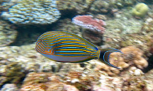 surgeon-fish-on-Flynn-Reef-coral-great-barrier-reef1024px-Acanthurus_lineatus_Flynn_Reef.jpg